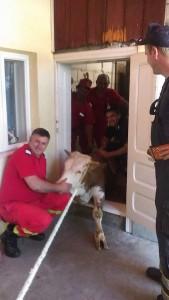 vaca salvata din beci de pompieri